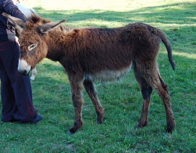 BOURRIFEE, renommée JOSETTE  - ONC âne née en 2010 - adoptée en août 2011 par Stephele12 Dsc_0021