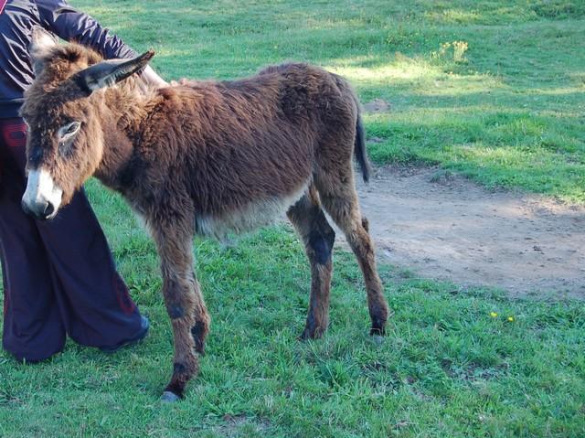 BOURRIFEE, renommée JOSETTE  - ONC âne née en 2010 - adoptée en août 2011 par Stephele12 Dsc_0025