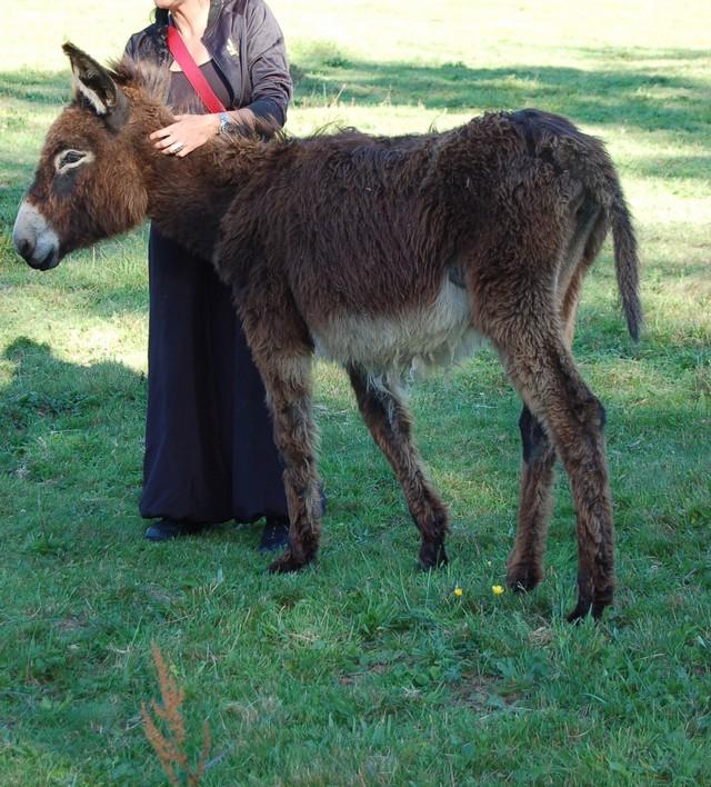 BOURRIFEE, renommée JOSETTE  - ONC âne née en 2010 - adoptée en août 2011 par Stephele12 Dsc_0029
