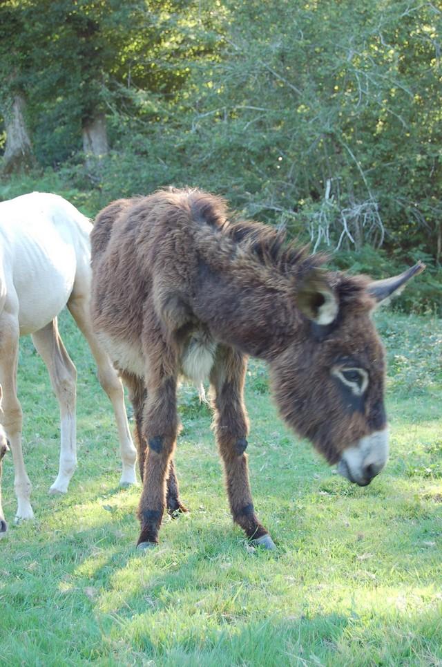 BOURRIFEE, renommée JOSETTE  - ONC âne née en 2010 - adoptée en août 2011 par Stephele12 Dsc_0030