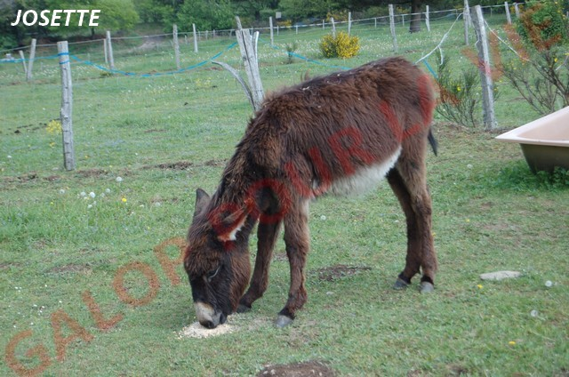 BOURRIFEE, renommée JOSETTE  - ONC âne née en 2010 - adoptée en août 2011 par Stephele12 Dsc_0212