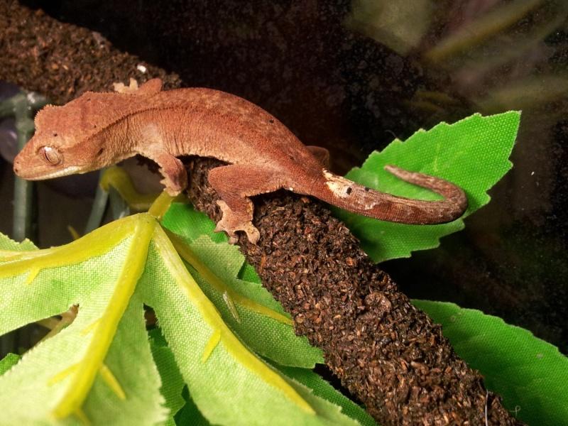 Vends  rhacodactylus ciliatus 2012-061