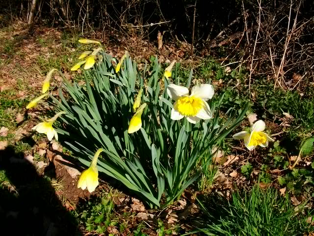 Jonquille, Narcisse 15_mar37