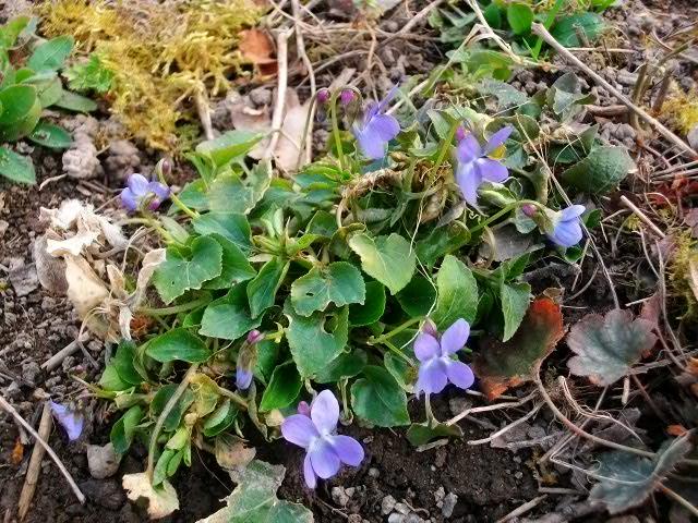 Les violettes - Page 8 17mars11