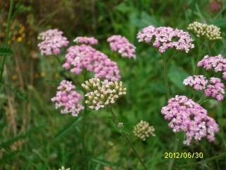 Fleurs sauvages - Page 2 30juin48