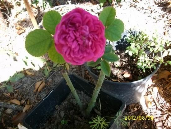"""Rosa """" Rose de Rescht """" Aout_021"""