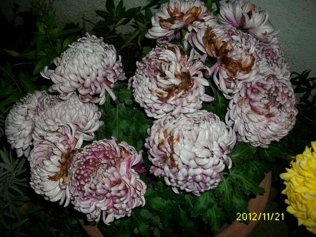 Chrysanthèmes  - Page 4 Automn47