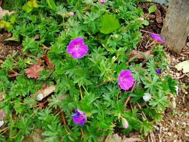 pour les amoureux des géraniums vivaces Avril103