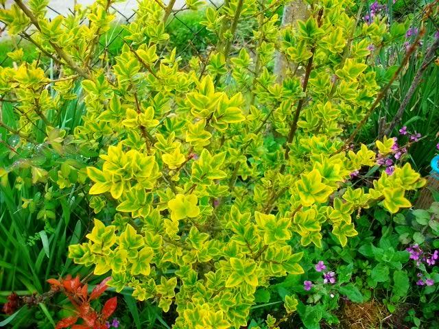 Ligustrum ovalifolium 'Aureum' !!! Avril129