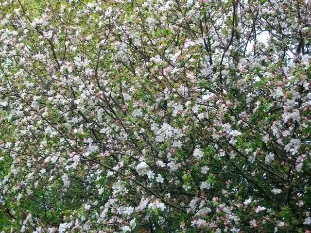 arbres en fleurs au printemps Avril_46