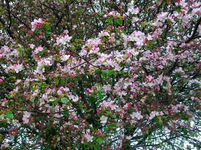 arbres en fleurs au printemps Avril_47