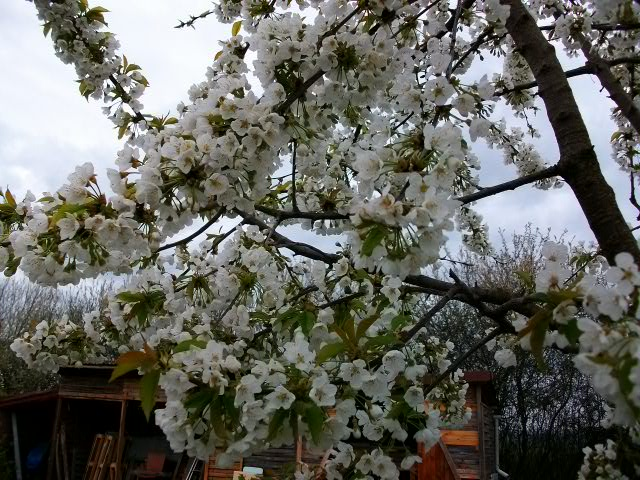 arbres en fleurs au printemps Avril_48