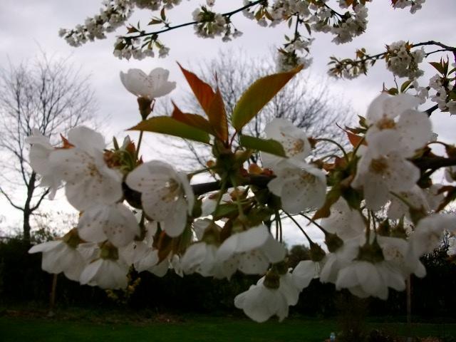 arbres en fleurs au printemps Avril_50