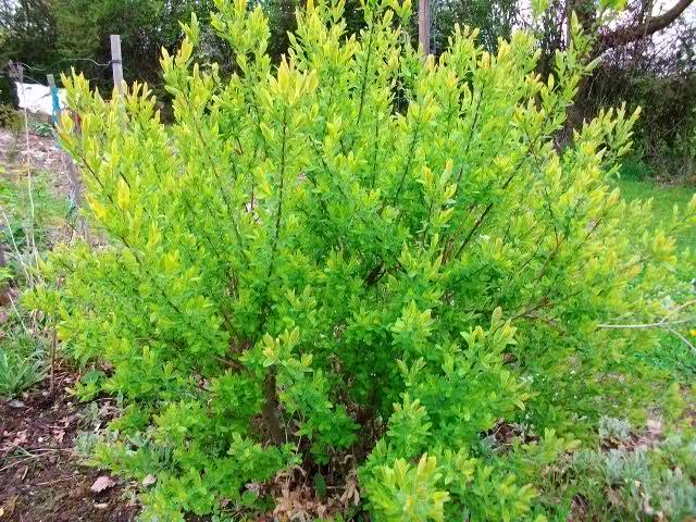 Salix integra 'Hakuro-Nishiki' Avril_52