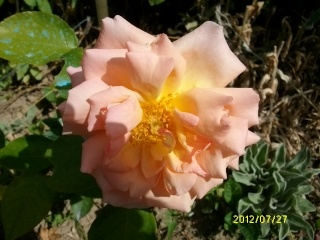 Rosa Compassion  - Page 2 Juill132