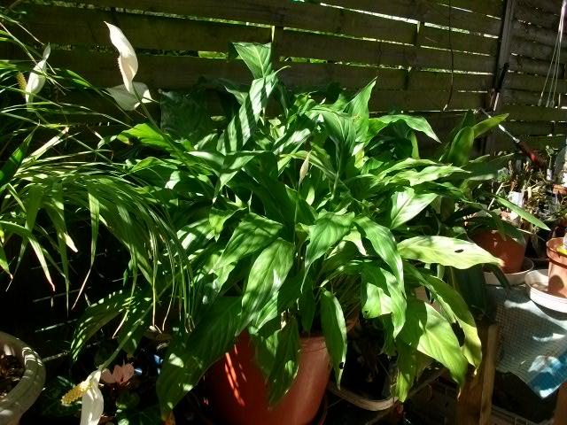 Plantes vertes - Page 3 Juille35