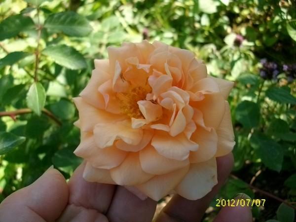 Rosa 'Buff Beauty' !!! - Page 2 Juille92