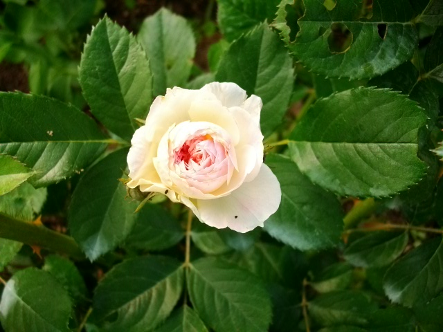 Rosa 'Bouquet Parfait' !!! Juin_071