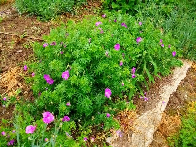 pour les amoureux des géraniums vivaces - Page 3 Mai_0233