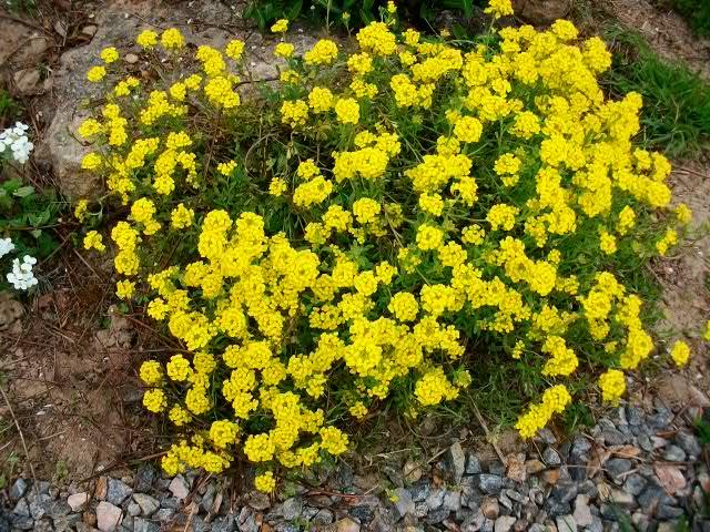 Corbeille d'or, Allyssum saxatile Paques22