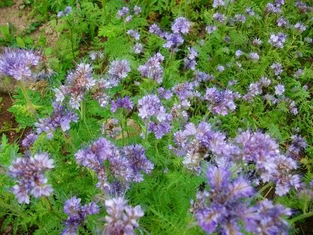 Quelles fleurs pour mon potager? Pentec34