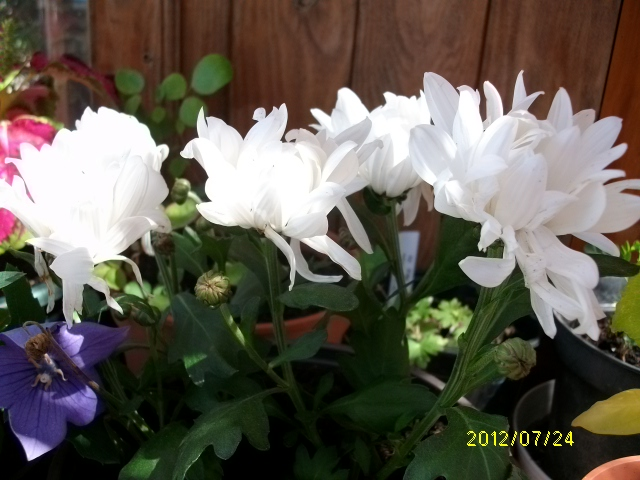 Chrysanthème Plante13