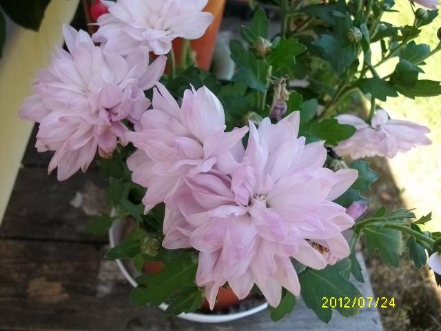 Chrysanthème Plante14