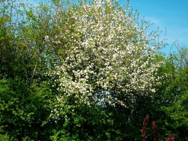 arbres en fleurs au printemps Pommie10