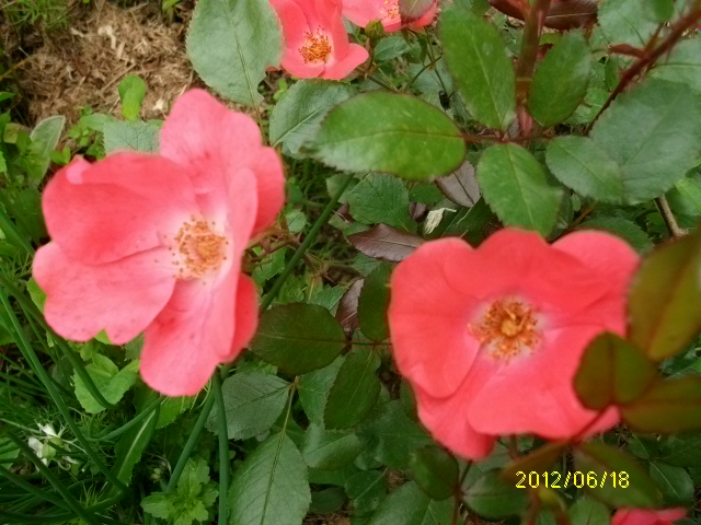 'Douceur normande' Roses_41