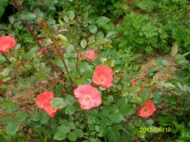 'Douceur normande' Roses_42
