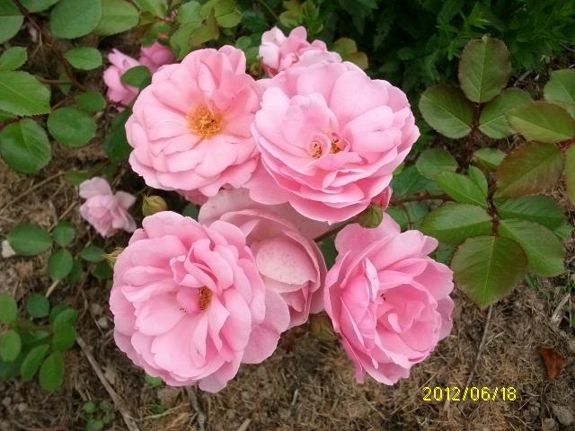 milrose Roses_47