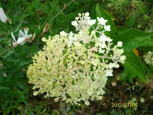 HYDRANGEA paniculata - Page 2 Vanill13
