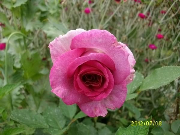 Rosa 'Violette Parfumée !!! Violet12