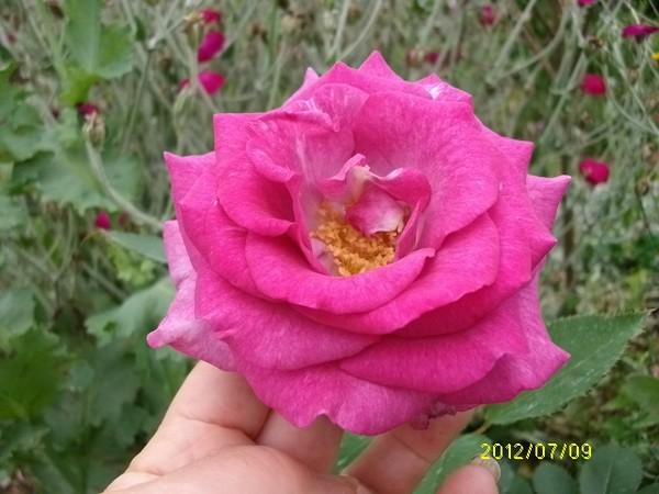 Rosa 'Violette Parfumée !!! Violet13