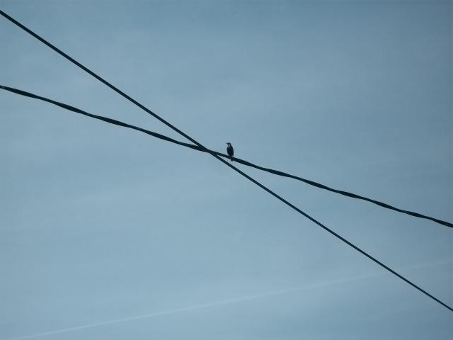 Reconnaitre les oiseaux de nos jardins... - Page 6 Zozio_10