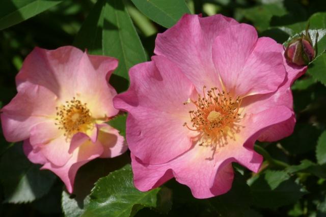 Rosa 'Yann Arthus Bertrand' !!! P1140810