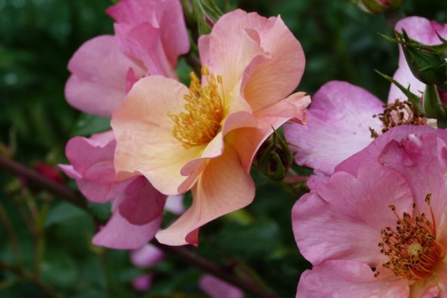 Rosa 'Yann Arthus Bertrand' !!! P1150412