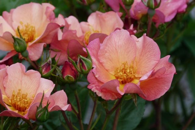 Rosa 'Yann Arthus Bertrand' !!! P1150413