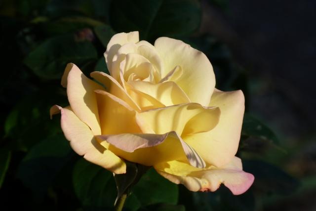 rosa peace P1160111