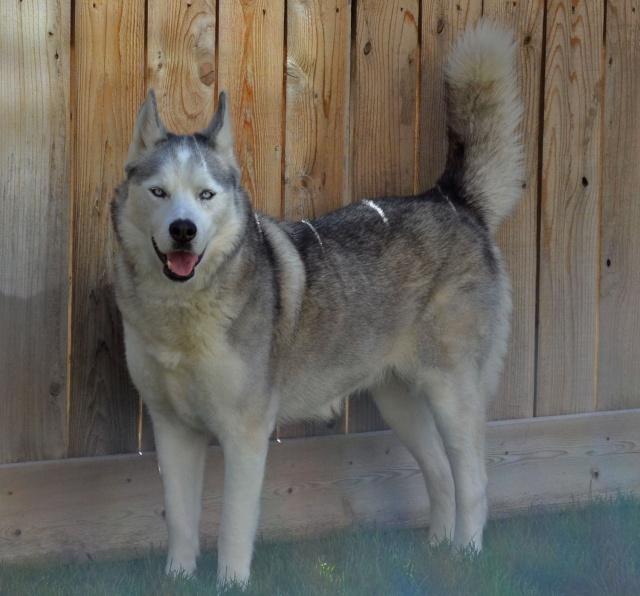 Short tail in husky Raw_ma12