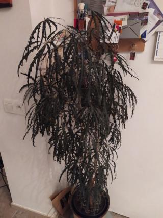 Plerandra elegantissima (= Schefflera elegantissima) Dizigo10
