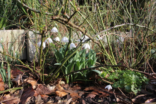 Galanthus - variétés horticoles Gal_im12