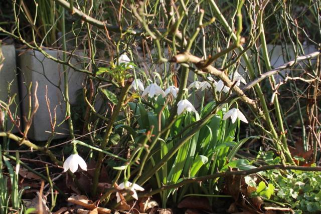 Galanthus - variétés horticoles Galant12