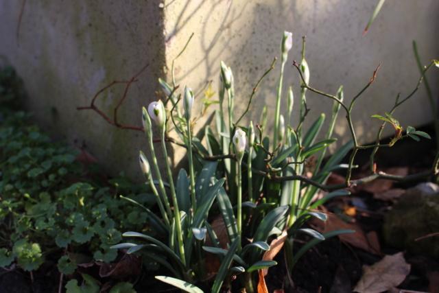 Galanthus - variétés horticoles Galant15