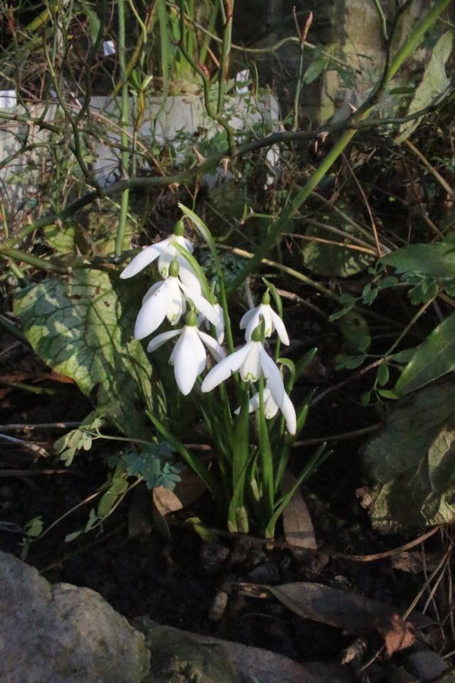 Galanthus - variétés horticoles Galant18