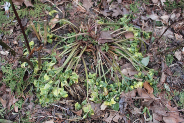 Helleborus orientalis et ses hybrides  Healle15