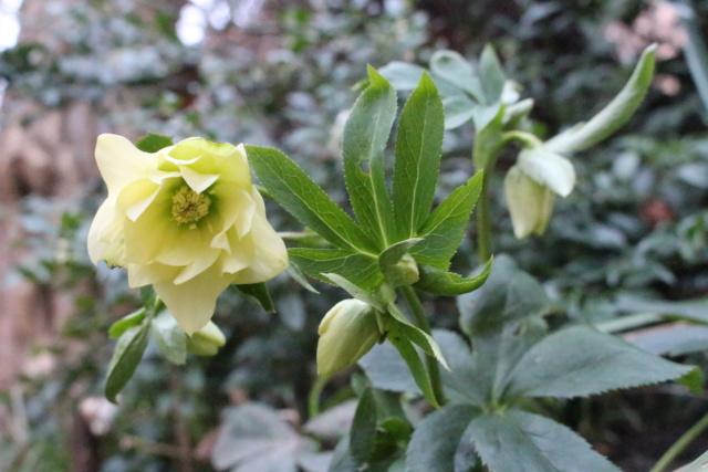Helleborus orientalis et ses hybrides  Helleb10
