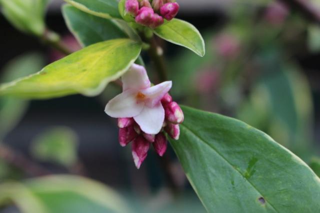 Daphne odora 'Aureomarginata' - Page 3 Img_1310
