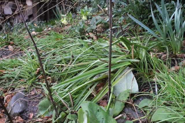 Kniphofia (= Tritoma) - faux Aloe - Page 3 Img_1812
