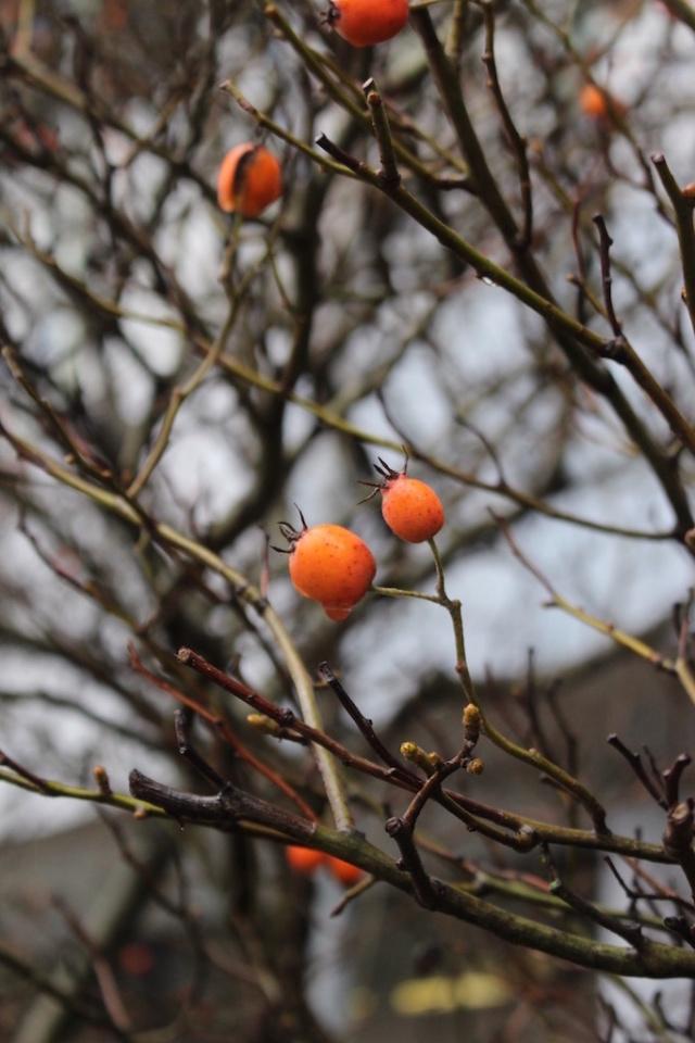 Rosaceae inconnue Inconn10